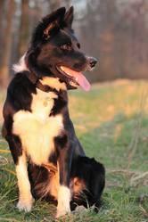 Indy, chien Border Collie