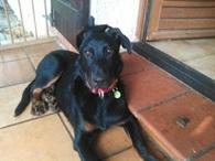 Indy, chien Beauceron