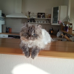 Indy, chat British Longhair