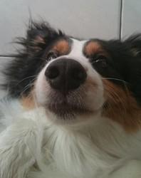 Indy, chien Berger australien
