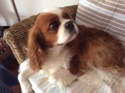 Indy, chien Cavalier King Charles Spaniel