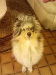 Indy, chien Colley à poil long