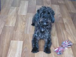 Indy, chien Berger de Bergame