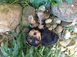 Indy , chien Yorkshire Terrier
