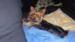 Indy, chien Yorkshire Terrier