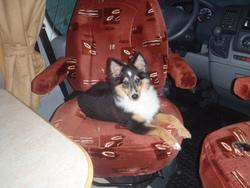 Indy, chien Berger des Shetland