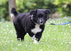 Indy, chien Border Collie
