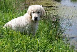 Indy, chien Golden Retriever