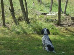 Indy, chien Setter anglais