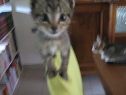 Indy, chat Gouttière