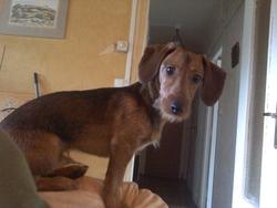 Indy, chien