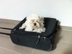 Indy, chien Bichon maltais