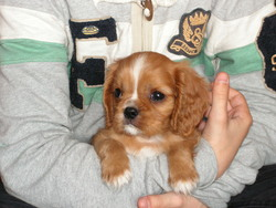 Indy, chien Cavalier King Charles Spaniel