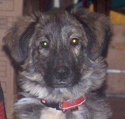 Indy, chien Berger du massif du Karst