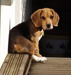 Indy, chien Beagle