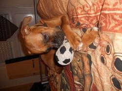 Indy, chien Boxer