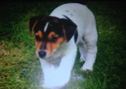 Indy, chien Jack Russell Terrier
