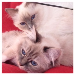 Indy Et I'M In Love, chat Birman