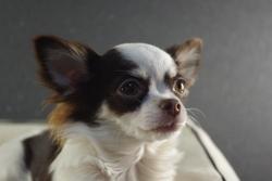 Indyana Des Plumes Du Quetzal, chien Chihuahua