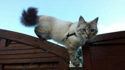 Indyanna, chat Sibérien
