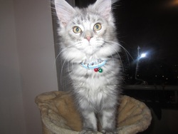 Indyzz, chat Maine Coon