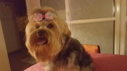 Ineha, chien Yorkshire Terrier