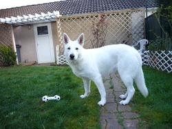 Inelle, chien Berger blanc suisse