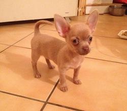 Ines, chien Chihuahua