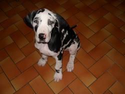 Ines, chien Dogue allemand