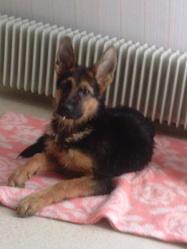 Ines, chien Berger allemand