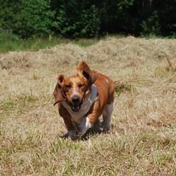 Inès, chien Basset Hound