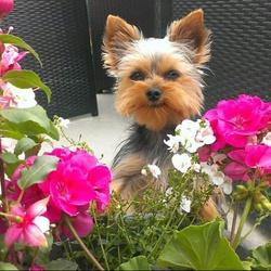 Inès, chien Yorkshire Terrier