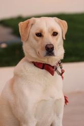 Inès, chien Labrador Retriever