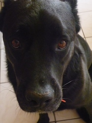 Iness, chien Cane Corso