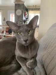 Inessa De La Cour Divine, chat Oriental