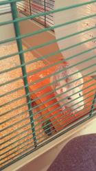 Ingride, rongeur Rat
