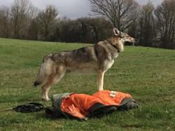 Ingwolf Des Marilyns, chien Chien-loup tchèque