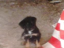 Iniaki, chien Yorkshire Terrier