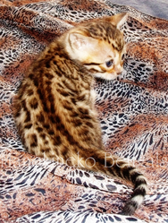 Initials Bb, chat Bengal