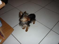 Injy, chien Yorkshire Terrier