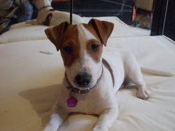 Inka, chien Jack Russell Terrier