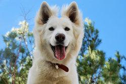 Inka, chien Berger blanc suisse