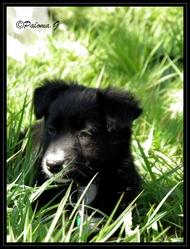 Inkha, chien Border Collie