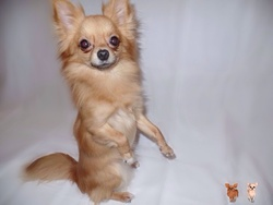Inky, chien Chihuahua