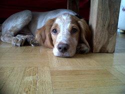 Inky, chien Épagneul breton