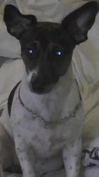 Inna, chien Jack Russell Terrier