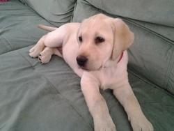Inna, chien Basset artésien normand