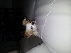 Inna, chien Chihuahua