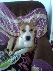 Inna, chien American Staffordshire Terrier