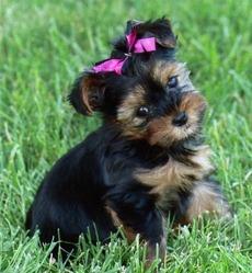 Inna, chien Yorkshire Terrier